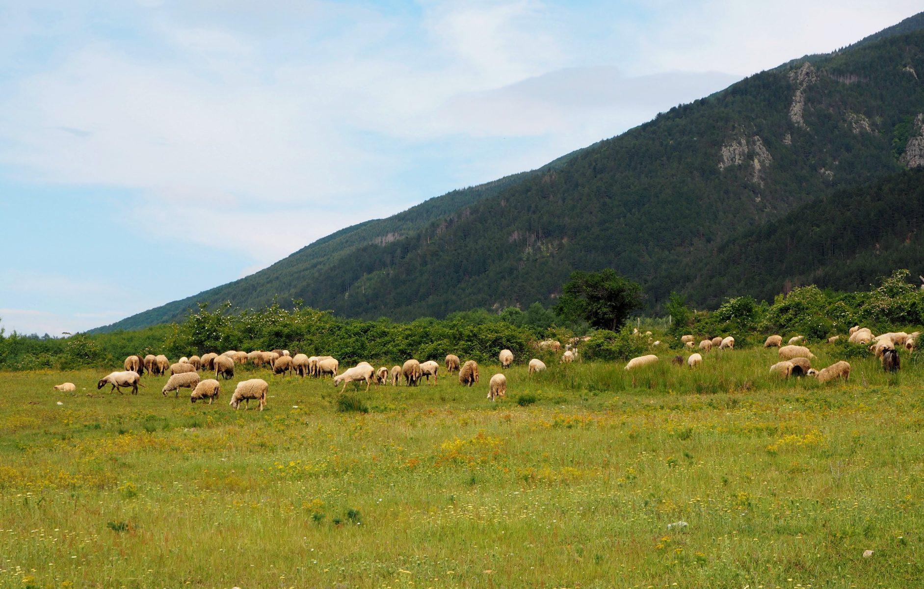 Овце в Рила