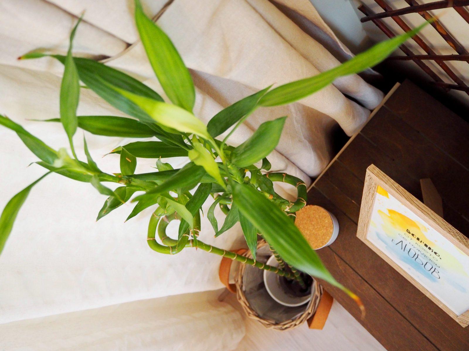 Природата вкъщи: бамбук