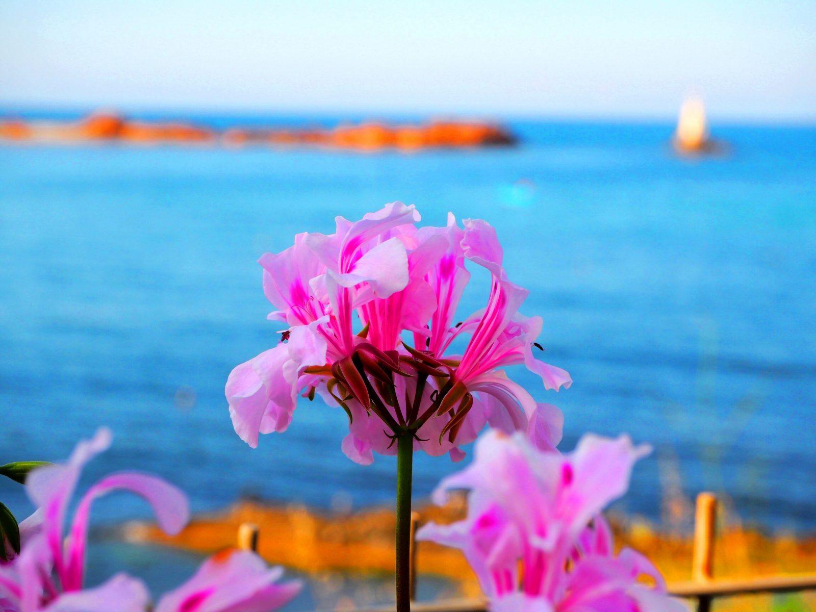 Цвете, Лазурният бряг в Ахтопол